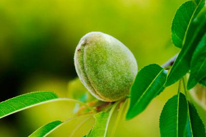 fruto de los plantones de almendro