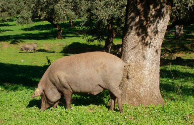 variedades de cerdo ibérico