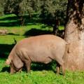 jamon iberico cerdo iberico